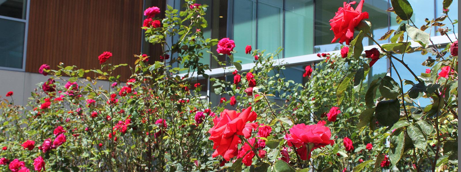 rca roses